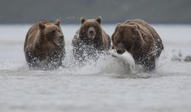 stock image of  a grizzly bear carrying a salomon, pursued by two grizzly bears, in katmai.
