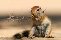stock image of  ground squirrel