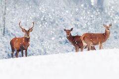 stock image of  a group of beautiful male and female deer in the snowy white forest. noble deer cervus elaphus. artistic christmas winter image