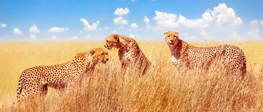 stock image of  group of cheetahs in the african savannah. africa, tanzania, serengeti national park