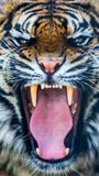 stock image of  growling tiger
