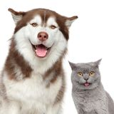 stock image of  happy pets. husky dog and british cat