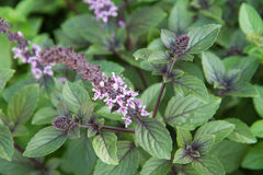 stock image of  herb: mint