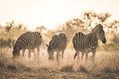 stock image of  herd of zebras grazing in the bush. wildlife safari in the kruger national park, major travel destination in south africa. toned