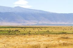 stock image of  herds of wild animals grazing in ngorongoro