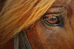stock image of  horse closeup