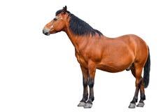 stock image of  horse isolated on white background. farm animals. brown bay horse isolated on white background.