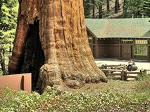stock image of  the huge sequoia trees compared with a house man is not recognizable