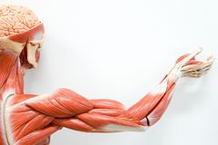 stock image of  human hands muscle