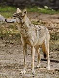 stock image of  an indian wolf