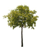 stock image of  isolated tree