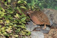 stock image of  jungle bush quail