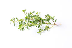 stock image of  lemon thyme herb
