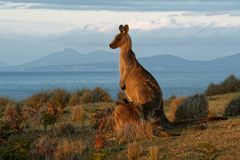 stock image of  macropus giganteus - eastern grey kangaroo in tasmania in australia, maria island, tasmania, standing on the meadow in the evening