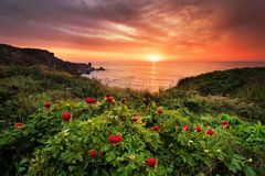 stock image of  magnificent sunrise view with beautiful wild peonies on the beach
