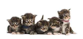 stock image of  maine coon kitten in a row