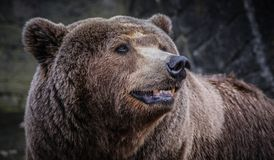 stock image of  male brown bear
