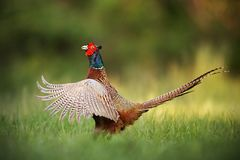 stock image of  male common pheasant, phasianus colchicus rooster showing off.
