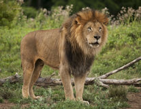 stock image of  male lion