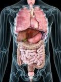 stock image of  a mans internal organs
