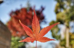 stock image of  maple leaf