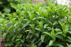 stock image of  mint plant