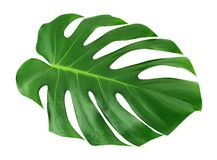 stock image of  monstera large leaf isolated. green jungle leaf unique tropical design pattern white background, with clipping path.