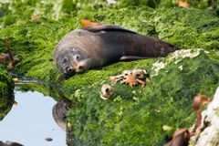 stock image of  new zealand fur seal