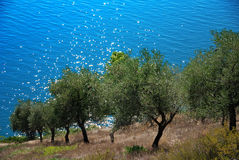 stock image of  olive grove