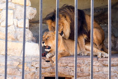 stock image of  a pair of lions in captivity in a zoo behind bars. marriage period for lions. animal instinct.