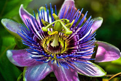 stock image of  passion flower