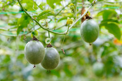stock image of  passion fruit