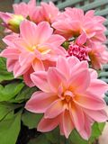 stock image of  springtime potted pink dahlias in bloom