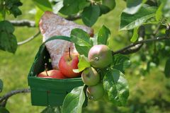 stock image of  apple turnover in a basket on a apple tree