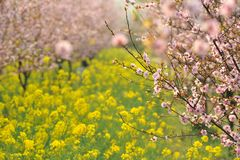 stock image of  pink peach and plum blossom-flower and seedling industry