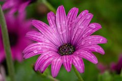 stock image of  a pink/purple daisy after rain