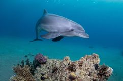 stock image of  playful dolphin swimming above a coral reef