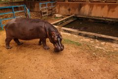 stock image of  portrait of hippopotamus in niamey at niger