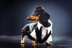 stock image of  portrait of a dachshund dog, black and tan, dressed in an elegant suit and white shirt, hat, dancing with strong backlight on the