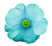 stock image of  primrose turquoise. flower on isolated white background with clipping path without shadows. close-up. for design.
