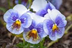 stock image of  purple, yellow and white pansy flowers in bloom