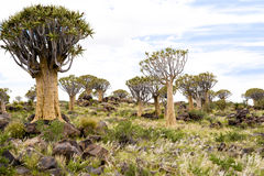 stock image of  quiver trees in namibia
