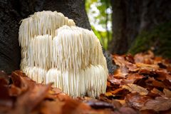 stock image of  rare lion`s mane mushroom in a dutch forest