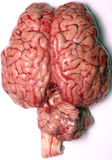 stock image of  real brain