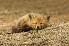 stock image of  red fox kit sleeping