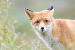 stock image of  red fox