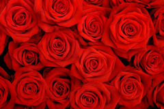 stock image of  red roses
