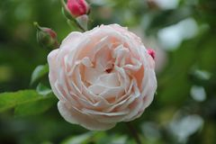 stock image of  compassion rose in rosegarden