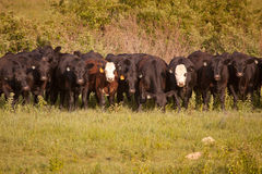 stock image of  row of cattle