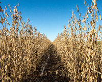 stock image of  row of soybeans